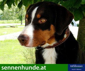 sennenhunde_at_1878