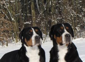 Diva und Nuba Grosser Schweizer Sennenhund Karantanska