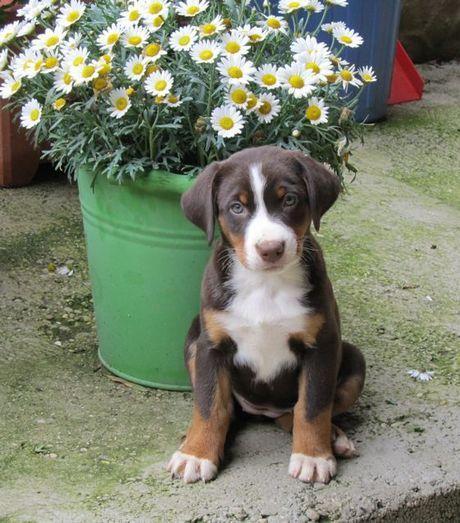 Appenzeller Sennenhund « Gretes Sennenhunde Blog