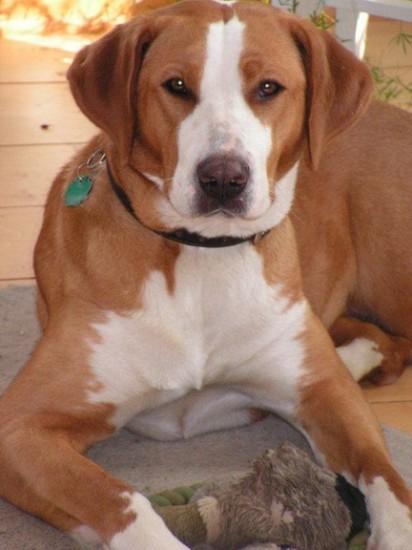 Tricolor und Braun « Gretes Sennenhunde Blog