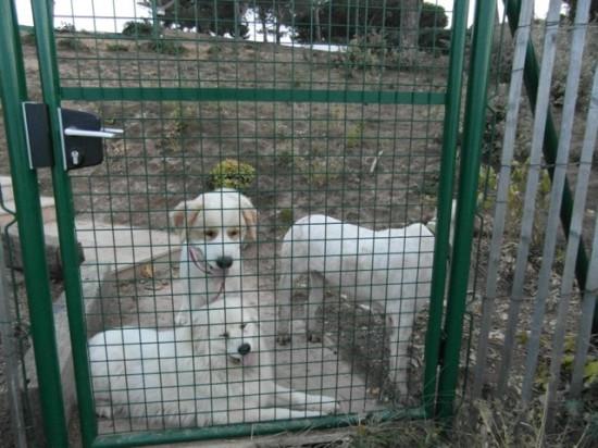Wachhunde auf einem Anwesen auf der Halbinsel Saint Tropez in Frankreich.