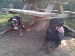 swissydog und Rottweiler