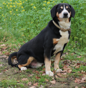 alter Entlebucher