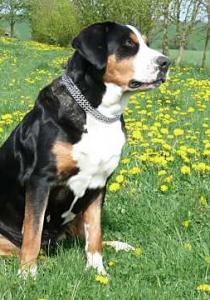 Grosser Schweizer Sennenhund  Stadlbauer