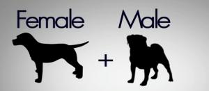 Pug  x Beagle