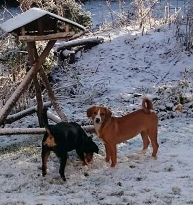 senenhund braun und schwarz