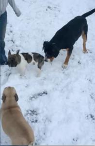 Sennenhund im Schnee