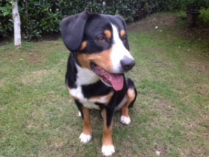 Entlebucher in China