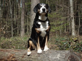 Entlebucher Sennenhund Veteran