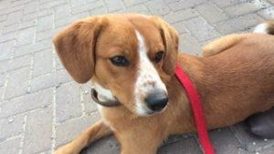 Zander - fuchsbrauner Sennenhund