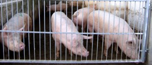 Schweinegrippe hat nichts mit diesen Schweinen zu tun