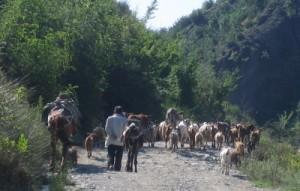 Ziegen auf der Landstrasse