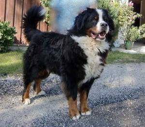 Berner Sennenhund - Langhaar