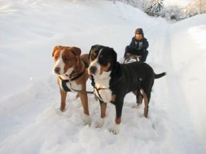 2 X Grosser Schweizer Sennenhund