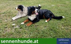 Berner Sennenhund Alf mit seinem Bruder