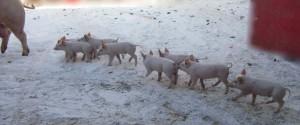 Schwein mit Ferkel BIO zertifiziert, Freilandschwein, Schweinezucht