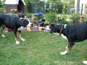 Zerrspiel Hund