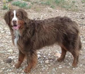 Berner Sennen Hund Havanna Braun