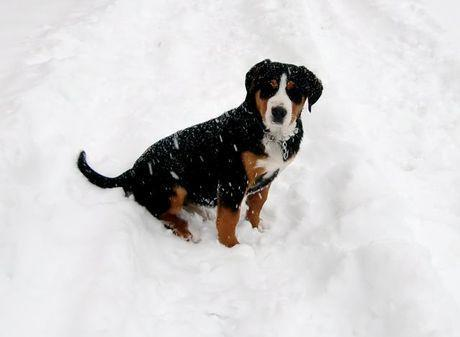 swissydog welpe