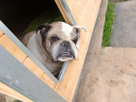 Die englische Bulldogge ist freundlich aber nie unterwürfig. Sie besitzt einen festen Charakter und Würde. Sie ist wachsam und die Zuneigung beruht auf Gegenseitigkeit.