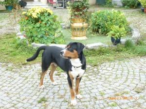 Hybridhund