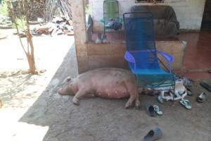 Das Hausschwein und der Haushund vor dem Hauseingang