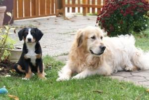 swissydog golden retriever