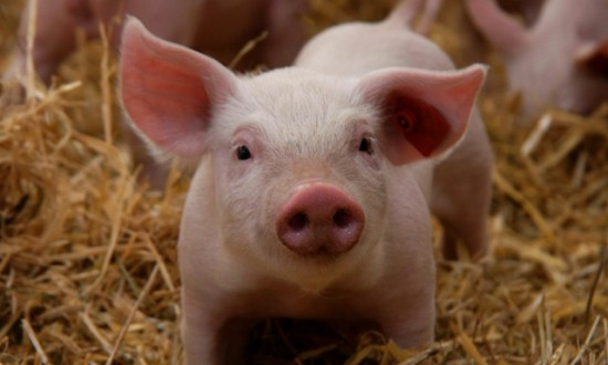 BIO Schwein