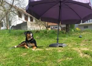 Sennenhund unter dem Sonnenschirm