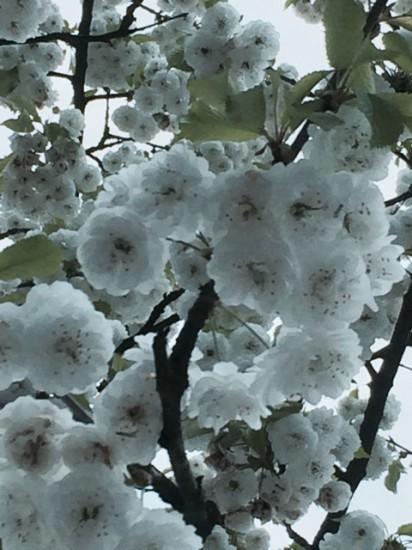 Baumblüten, Frühling