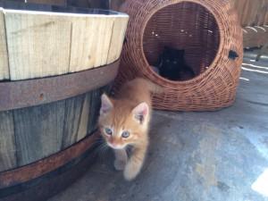 Hauskatzen, Kitten