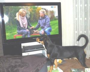 Entlebucher beim Fernsehen