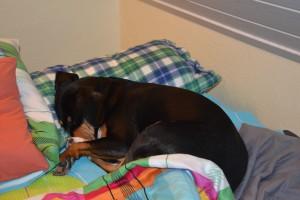 Entlebucher Hund im Bett