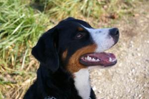 swissydog