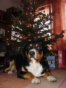 Sennenhund unter dem Weihnachtsbaum