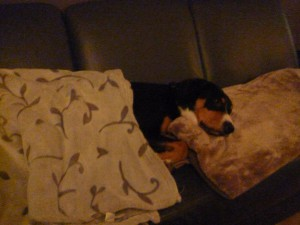 Sennenhund im Bett