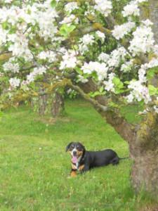 blühender Baum und Hund