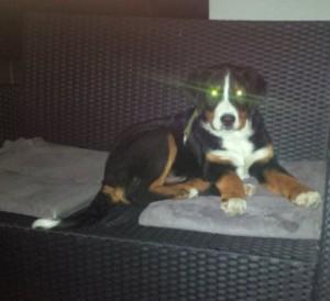Sennenhund in der Nacht