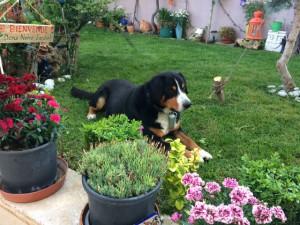 Seit 2009 lebt  Quaff von den Gänsewiesen glücklich in einer netten Familie in der Türkei.