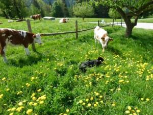 Sennenhund und Kühe