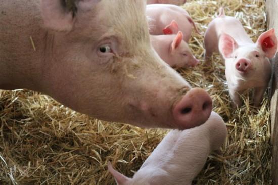 Neujahrsschweine, Schwein gehabt, Hausschwein