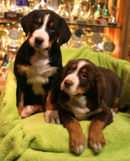 Brauner Grosser Schweizer Sennenhund mit Geschwister.