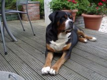 Grosser Schweizer Hund