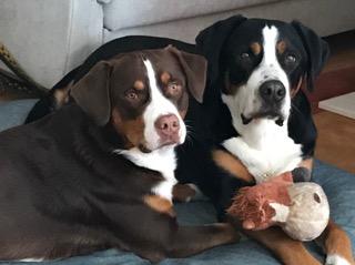 Brauner Gss Sennenhund Archive Gretes Sennenhunde Blog